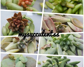 50 Succulent Leaves Propagation Crassula/Sedum/Kalanchoe/Graptosedum Variety DIY Starter Collection