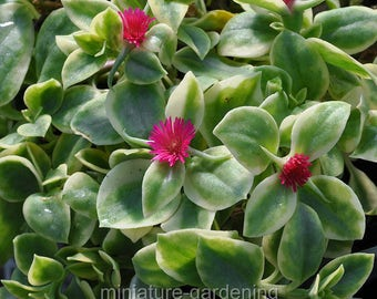 Aptenia cordifolia var, Crystal, Baby Sun Rose for Miniature Garden, Fairy Garden