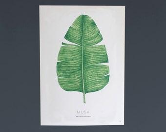 Banana Leaf Musa Plant Botanical Illustration A4 Digital Print