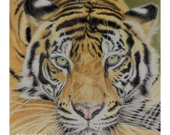 Tiger - Open Edition Giclee Print - 8x8 inches