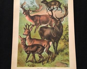 Mouse Deer & Stag Antique Print, Plate XLII: Ungulata, Original 1880 Color Lithograph