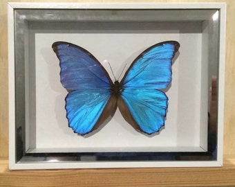 Real butterfly Morpho Didius in a white mirror lined shodow box frame.