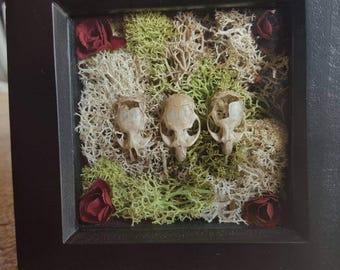 Framed small vole skulls-owl pellet skulls