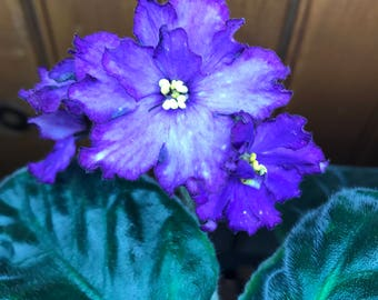 African Violet Circus Fascination Pair of Leaves