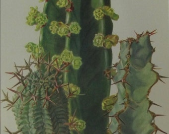1957 cactus plants fat Hans Krainz Euphorbia Stellaespina, Acrurensis, Coerulescens decoration wall scrapbooking succulent plant