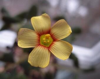 Oxalis obtusa 'Firebird'  bulb