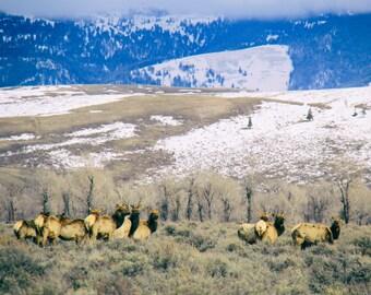 Wild Elk Print, Wildlife Photography, Nature Print, Wyoming