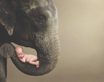 Digital Prop for Newborn - Digital background - Newborn Photography - Elephant - Animal - Nature - Wildlife - Trunk