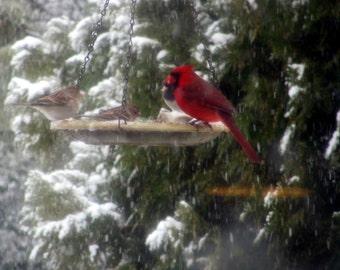 Photo, Cardinal Winter Breakfast.  Beautiful Red Bird enjoying breakfast with friends in the Arkansas ice and snow.