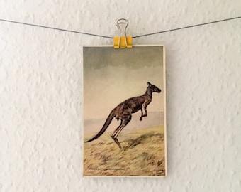 Vintage kangaroo postcard - Australian animal study, natural history, nature illustration, marsupial picture, kanga, roo, wildlife
