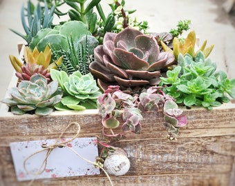 Succulent Arrangement - Rustic Drawer