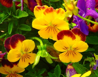 Bright, beautiful pansies