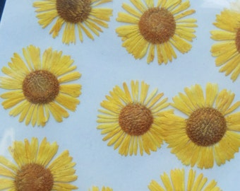 Small Yellow Pressed Flowers Fleabane Pack of 12 | Dried Flowers | Flatten Flowers | Real Flowers