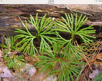 lycopodium Obscurum ground pine unique ground cover 100 starts, free ship
