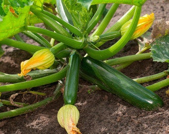 15 Organic Summer Squash Seeds Heirloom Non-GMO ''Dark Green Zucchini''