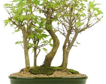 Bonsai Acer Buergerianum Forest 5 trees