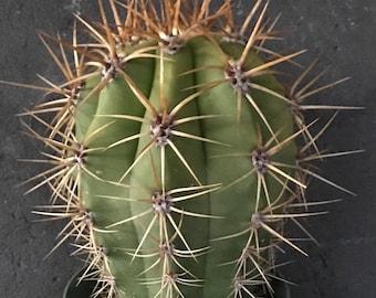 Cactus of Awesomeness