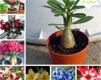 20+ SEED FRESH Real Adenium obesum Seeds Desert Rose Flower Seed Succulent Plants Seed