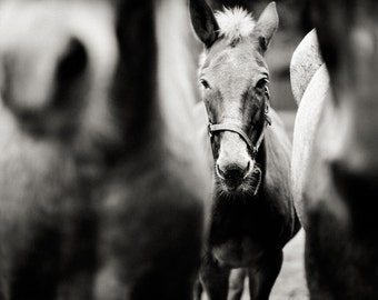 horse photography, horse wall art, horse home decor, black & white photography, animal wall art