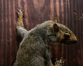 Taxidermy Gray Squirrel