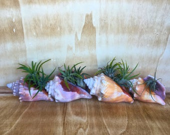 Air Plant in Shell decorative