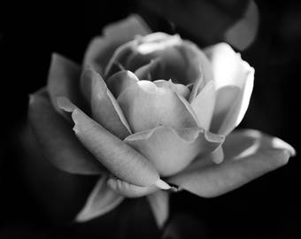 Rose Bloom in the Light, Black and White Rose