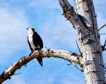 Daydream Believer - PHOTO PRINT - Osprey in Tree