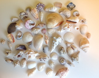 Mixed Lot of 50+ Medium to Large Sea Shells for Craft and Decor Projects