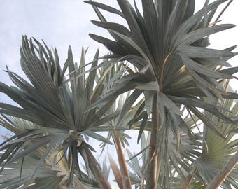 Palm Tree Branches Photo
