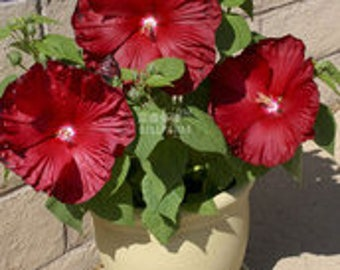 Deep Red Hibiscus  20 Seeds  Pack The Darkest  Most Velvety Red Ever Bonsai Flower