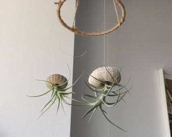 Air plant mobile with sea urchin shells.