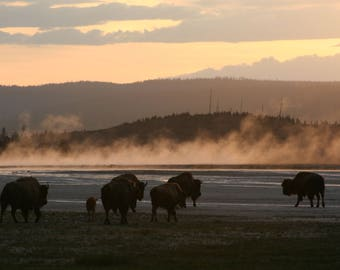 Landscape photography, Prints, Yellowstone, Bison, Sunset, Beautiful views, Home decor, Yellow, Unique, Wall Art, Mood