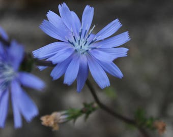 Blue  Wildflower - chicory - flower - nature - digital - download - photo
