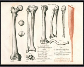 BONES PRINT Anatomy Print antique anatomy art giclee print vintage anatomy print anatomical print gladiator bones anatomy etching