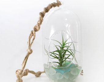 Large Air Plant in the Oval Dome Terrarium