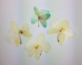 SALE! Dried Pressed Orchids/ Flowers / Botanicals. Dried Pressed Phalaenopsis.