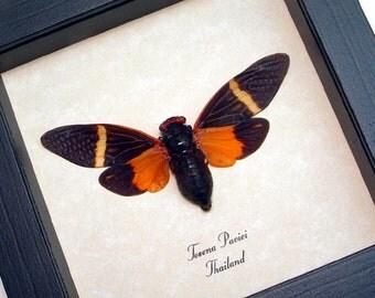 Real Framed Tosena Paviei Orange & Black Cicada 2161