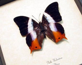 Real Framed Palla Violintins Stunning African Swallowtail Butterfly 298
