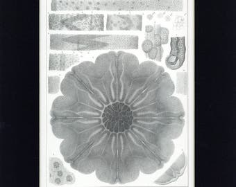 Beautiful 1860 Jellyfish - Cyanea Arctica Per & LeS Aquatic Natural History Antique Print