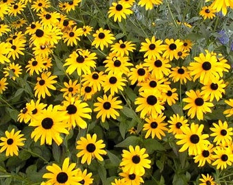 6 Rooted Live Perennial Rudbeckia Goldstrum aka Black-Eyed Susans Plants - Stunning, Long lasting
