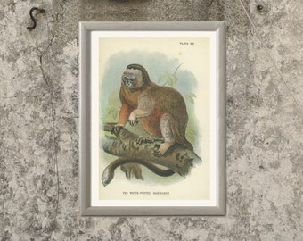 White-footed Marmoset Monkey, Antique Lithograph, Keulemans 1896/13, Victorian Wildlife Picture, Primate, Natural History, Chromolithograph