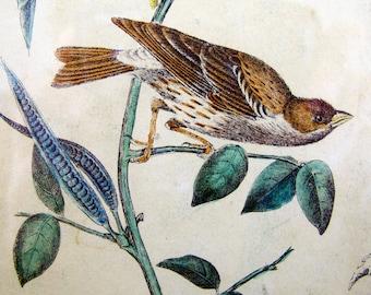 Audubon Thrush Bird Engraving Print 19th Century Wall Hanging Interior Design Framed