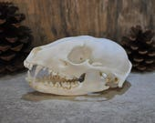 Exotic Real Beautiful Raccoon Skull