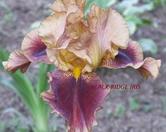 Tall Bearded Iris APOLLODORIS 1988 copper and lilac