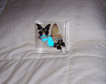 Real Beautiful Pearlized Morpho Butterfly with Mosaic Accents