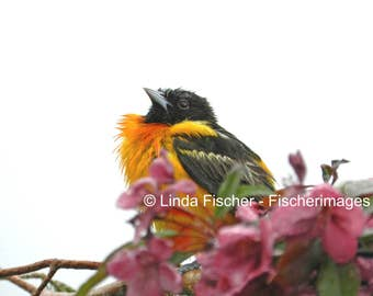 Baltimore Oriole Perched on Branch with Flowers Nature Wall Art Home Decor Digital Download Fine Art Photography Linda Fischer Fischerimages