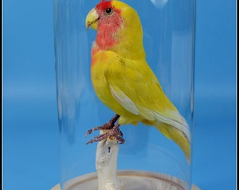 taxidermy of yellow parrot mounted with glass dome and base.can be Special birthday gift C#