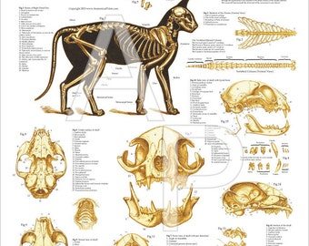 "Cat Skeletal Anatomy Poster Wall Chart - 24"" X 36"""