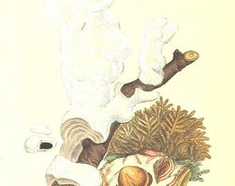 Vintage Mineralogy Illustration Digital Paper: CALX carbonata shell