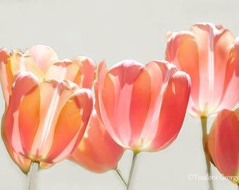 Tulips Photography, Flower, Spring Botanical, Tulips Photo, Pink Photo